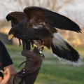 Festa dell'amicizia tra uomini e falchi - Esibizione di falchi in volo